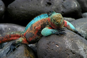 One of the many Galapagos Iguanas you´ll see on a Galapagos Islands Cruise tour.