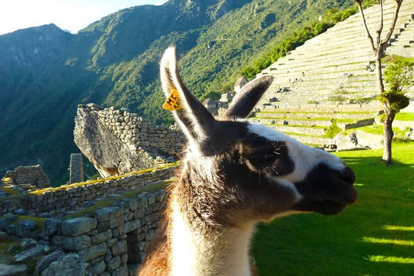 A photo of a llama taken on an Inca tour of Peru's heartland by Southern Crossings Tours and Travel.