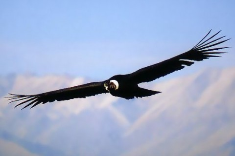 Condor viewing on a Colca Canyon tour from Southern Crossings.