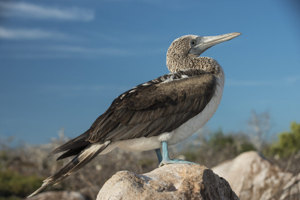 side view blue footed boobie on a rock with blue sky