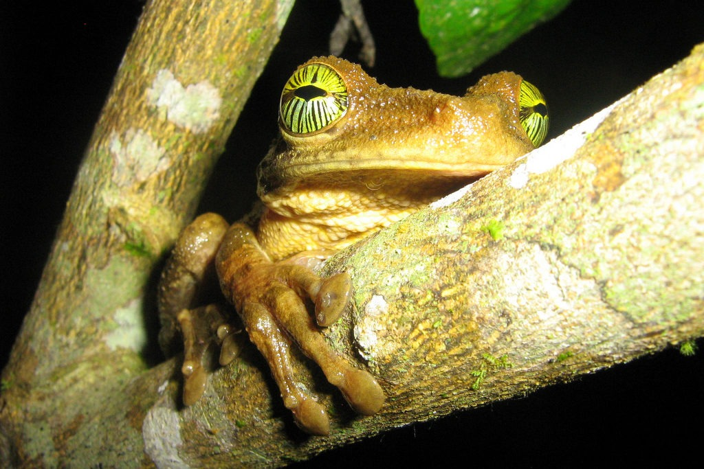 brown amazonian tree frog with yellow eyes on tree branch