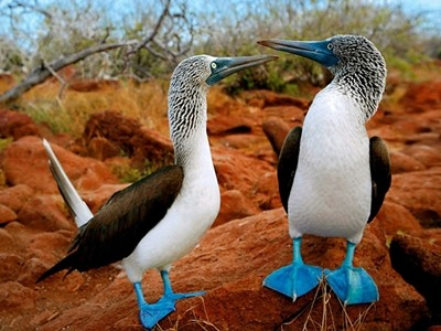 See blue-footed boobies on an Ecuador and Galapagos vacation with Southern Crossings